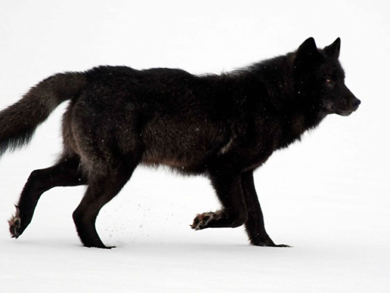 No esa listing for alexander archipelago wolves the for Black wolf fish